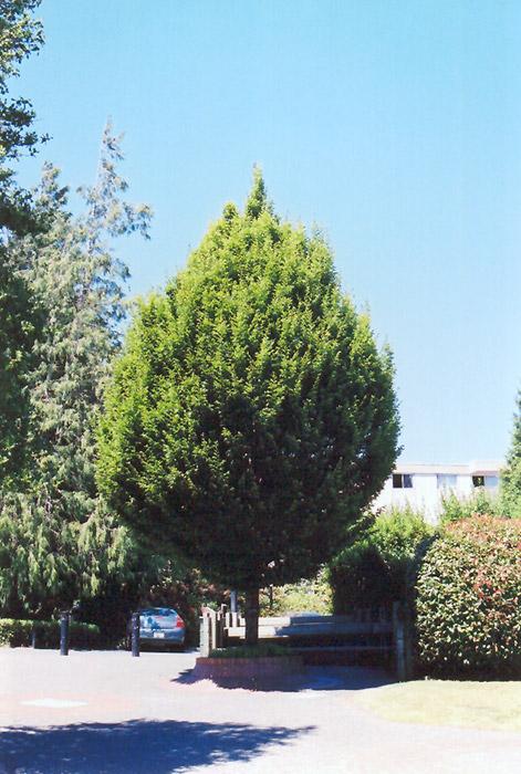 Columnar European Hornbeam Carpinus Betulus Columnaris