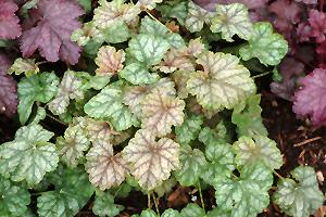 Mint Frost Coral Bells Heuchera Mint Frost In Long