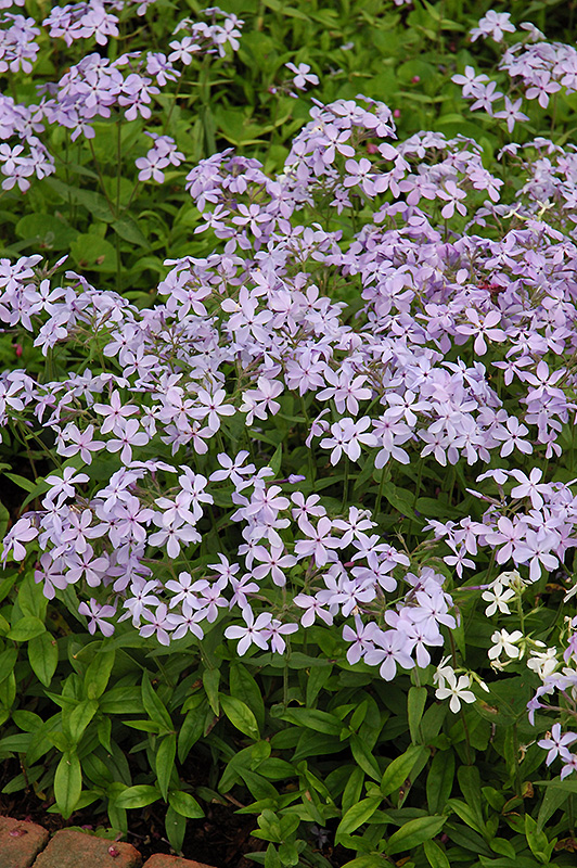 Woodland Phlox (Phlox divaricata) at Hicks Nurseries