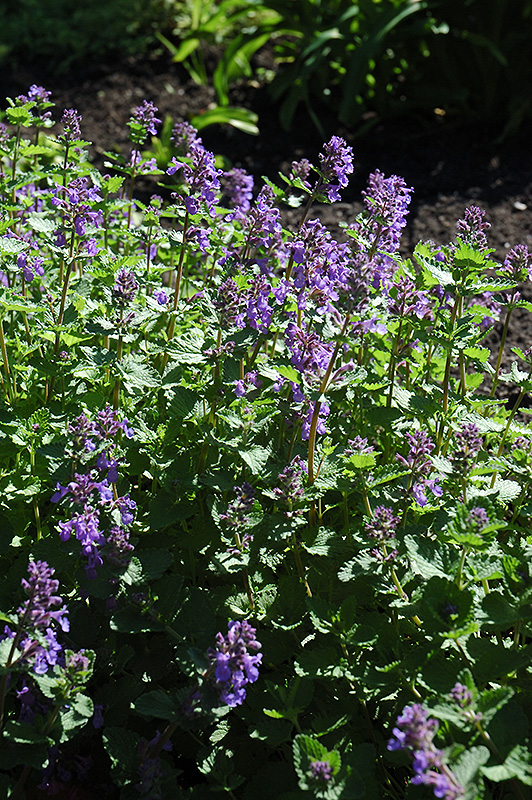 Dropmore Blue Catmint (Nepeta x faassenii 'Dropmore Blue') at Hicks Nurseries