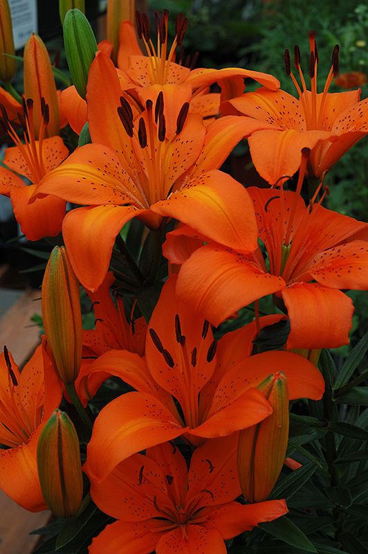 Orange Pixie Lily (Lilium 'Orange Pixie') at Hicks Nurseries