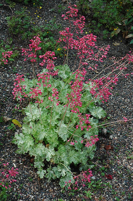 Mt. St. Helens Coral Bells (Heuchera 'Mt. St. Helens') at Hicks Nurseries