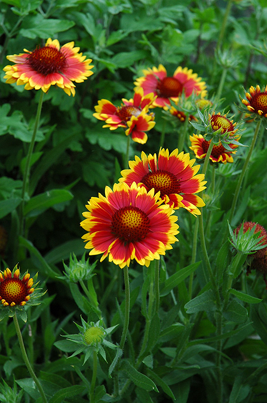 Goblin Blanket Flower (Gaillardia x grandiflora 'Goblin') at Hicks Nurseries