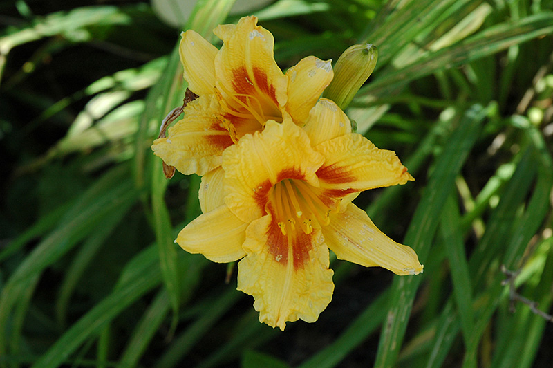 Black Eyed Stella Daylily (Hemerocallis 'Black Eyed Stella') at Hicks Nurseries