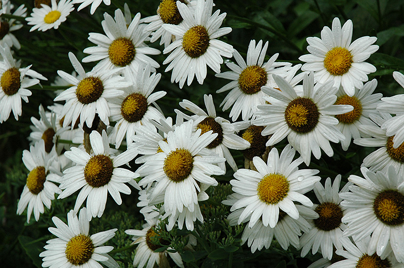 Alaska Shasta Daisy (Leucanthemum x superbum 'Alaska') at Hicks Nurseries