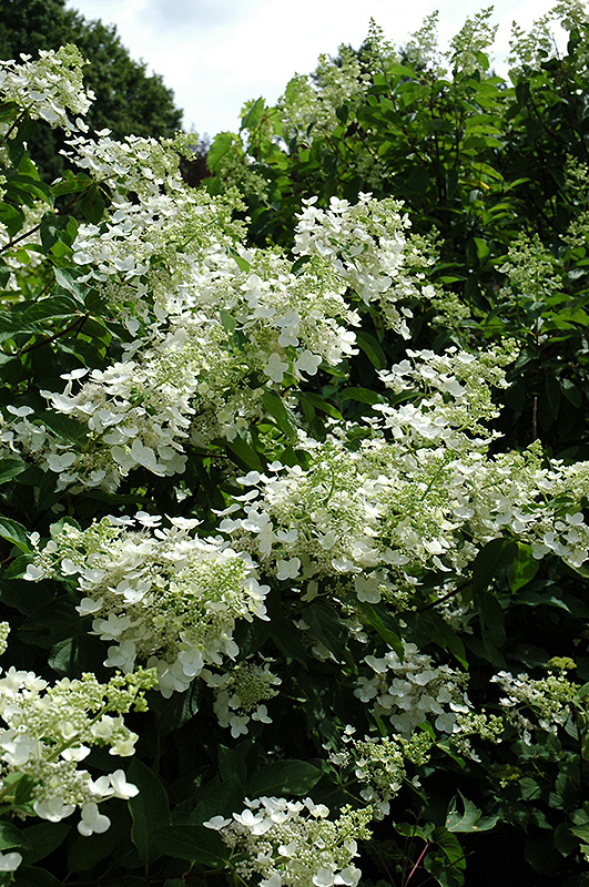 Unique Hydrangea (Hydrangea paniculata 'Unique') at Hicks Nurseries
