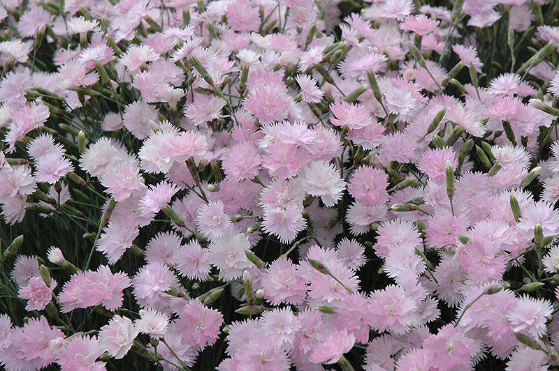 Mountain Mist Pinks (Dianthus gratianopolitanus 'Mountain Mist') at Hicks Nurseries