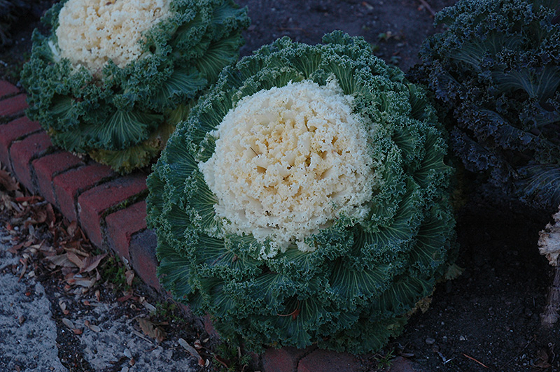 White Kale Brassica Oleracea White In Long Island