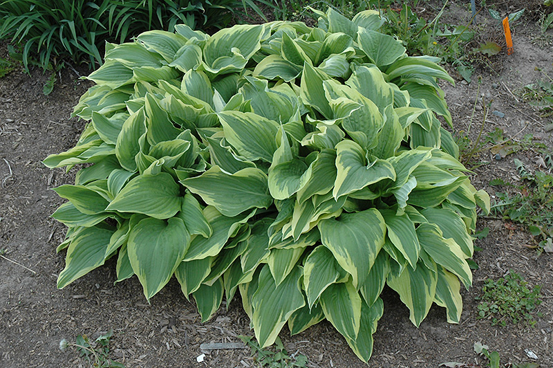 Sundance Hosta (Hosta 'Sundance') at Hicks Nurseries