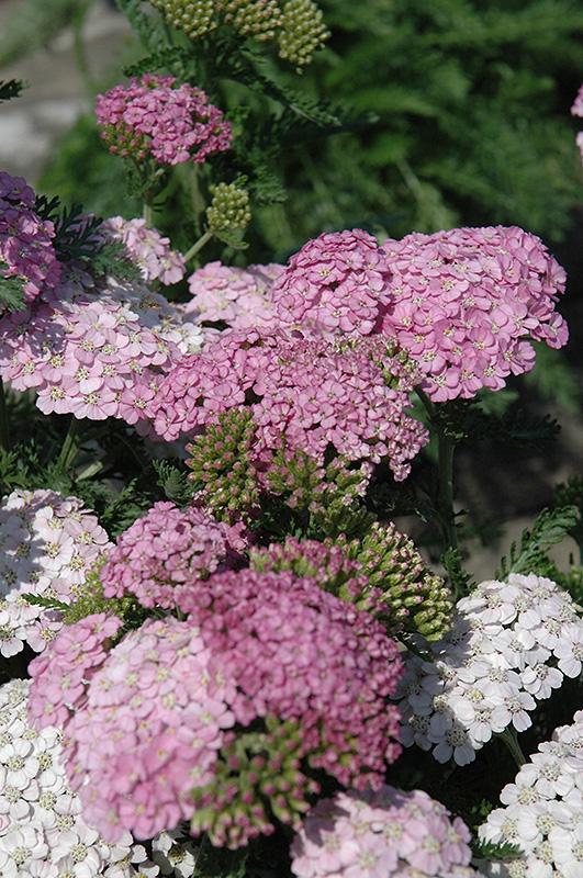 Apple Blossom Yarrow (Achillea millefolium 'Apple Blossom') at Hicks Nurseries