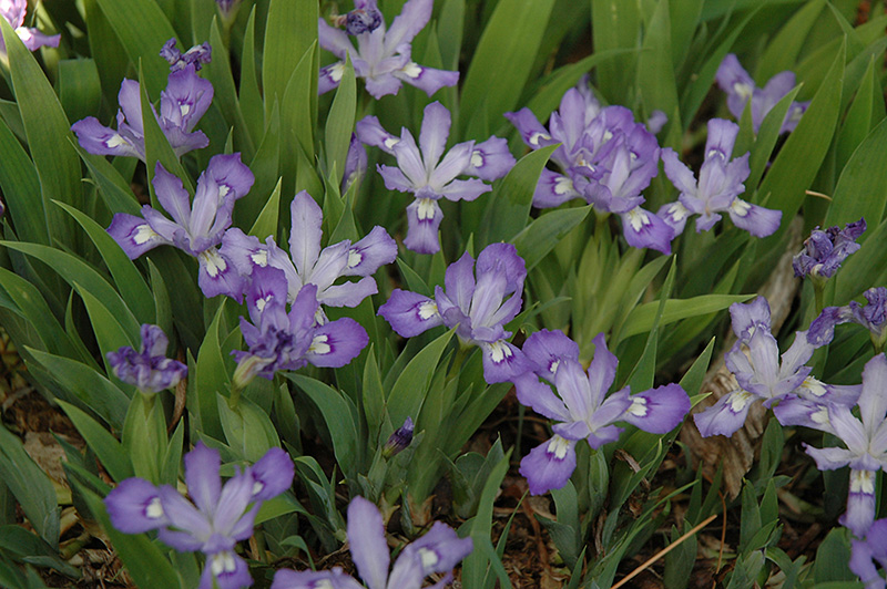 Dwarf Crested Iris (Iris cristata) at Hicks Nurseries