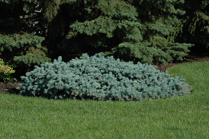 St. Mary's Broom Creeping Blue Spruce (Picea pungens 'St. Mary's Broom') at Hicks Nurseries