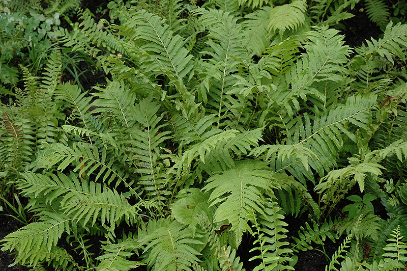 Christmas Fern (Polystichum acrostichoides) at Hicks Nurseries