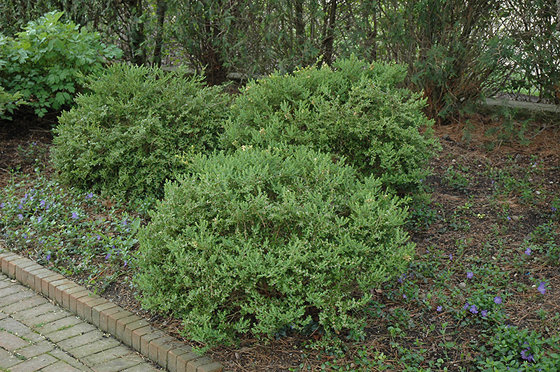 Wintergreen Boxwood Buxus Microphylla Wintergreen In