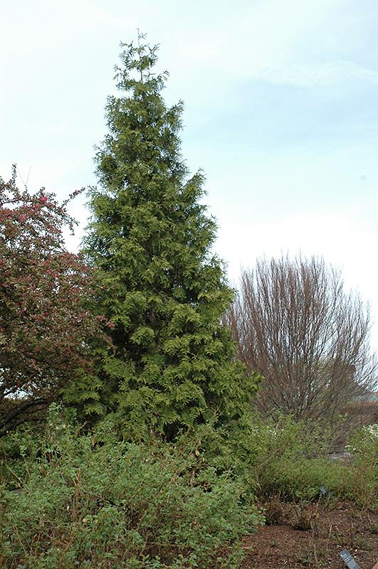 Western Arborvitae Thuja Plicata In Long Island Westbury