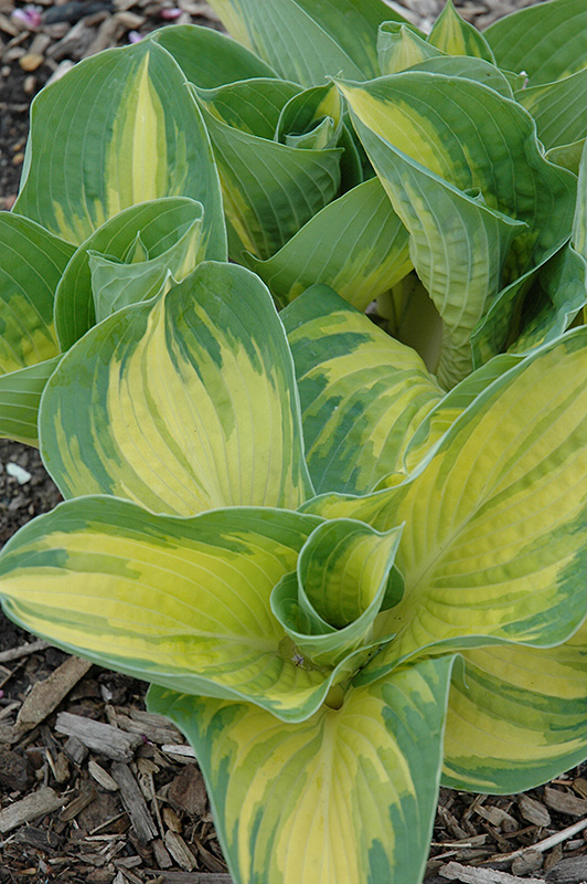 Great Expectations Hosta (Hosta 'Great Expectations') at Hicks Nurseries