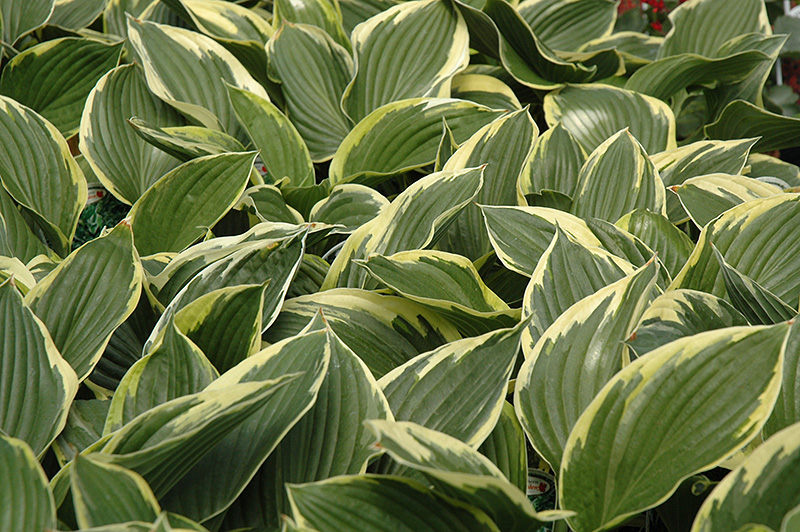 Golden Variegated Hosta (Hosta fortunei 'Aureomarginata') at Hicks Nurseries