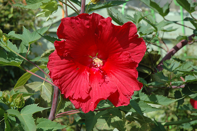 Fireball Hibiscus (Hibiscus 'Fireball') at Hicks Nurseries