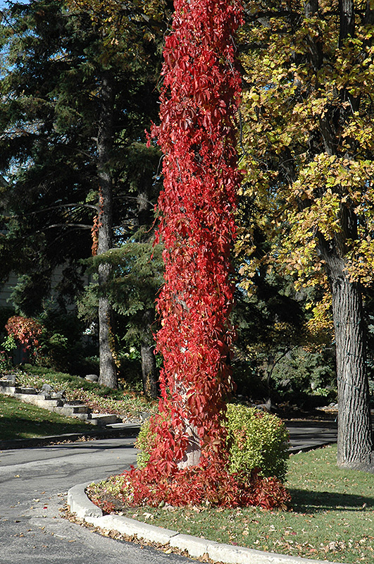 Virginia Creeper Parthenocissus Quinquefolia In Long