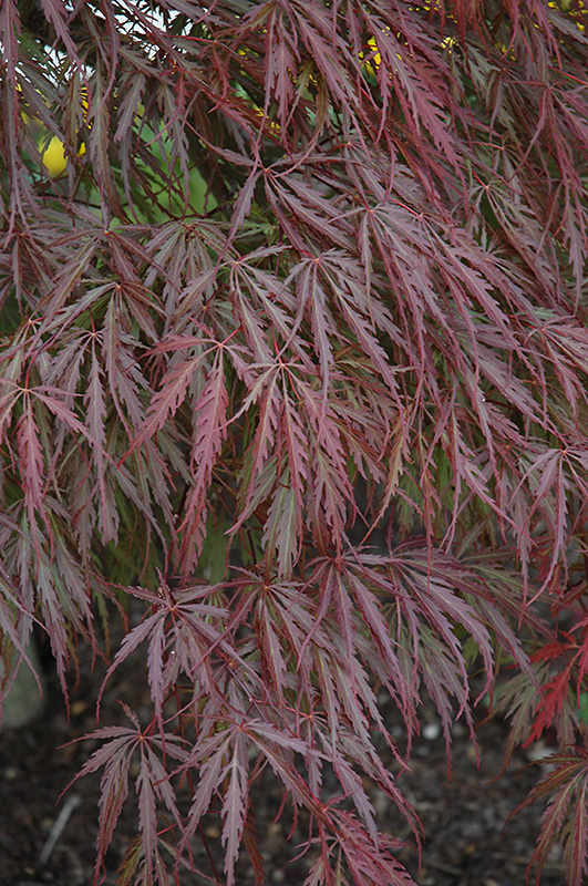 Tamukeyama Japanese Maple (Acer palmatum 'Tamukeyama') at Hicks Nurseries