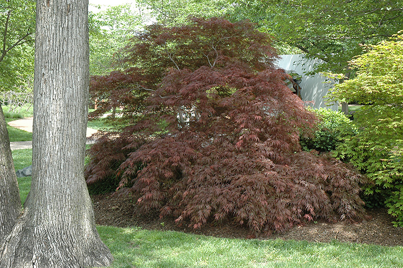 Garnet Cutleaf Japanese Maple (Acer palmatum 'Garnet') at Hicks Nurseries