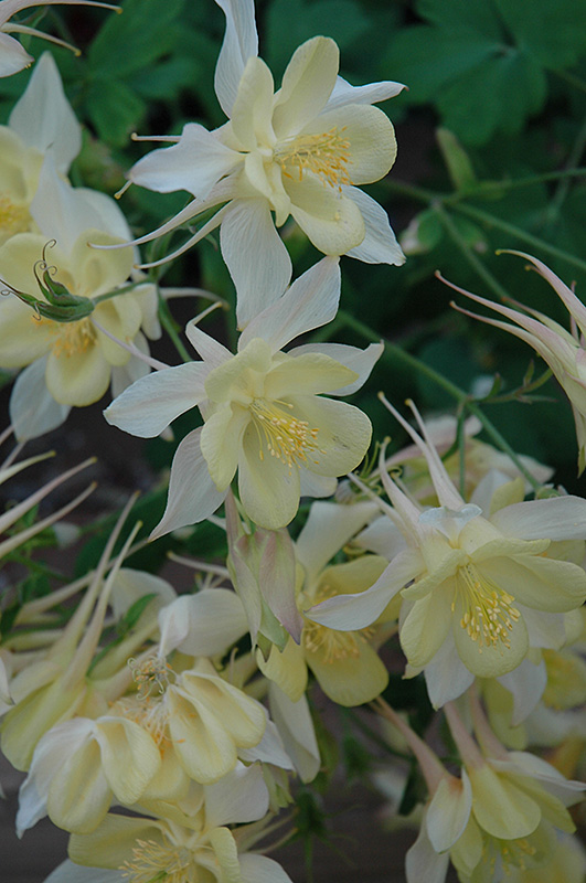 Origami Yellow And White Columbine (Aquilegia 'Origami Yellow And White') at Hicks Nurseries