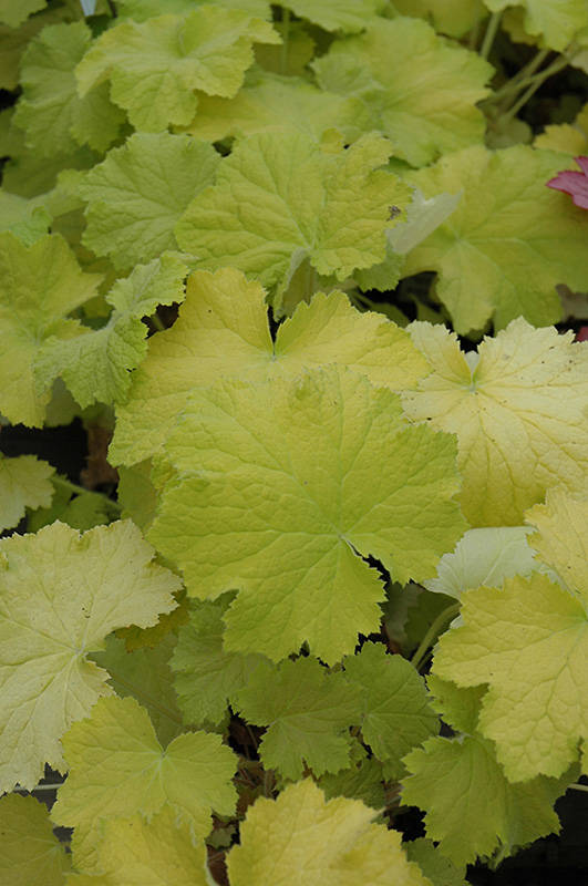 Pistache Coral Bells (Heuchera 'Pistache') at Hicks Nurseries