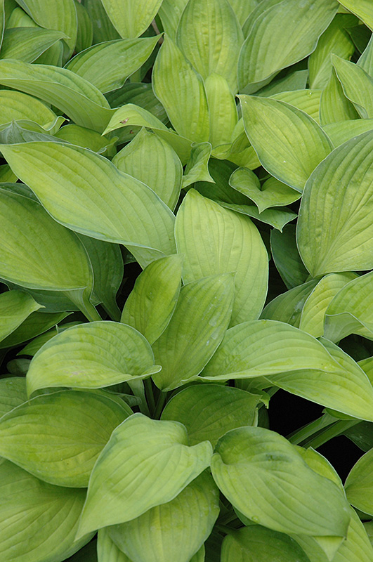 Gold Standard Hosta (Hosta 'Gold Standard') at Hicks Nurseries