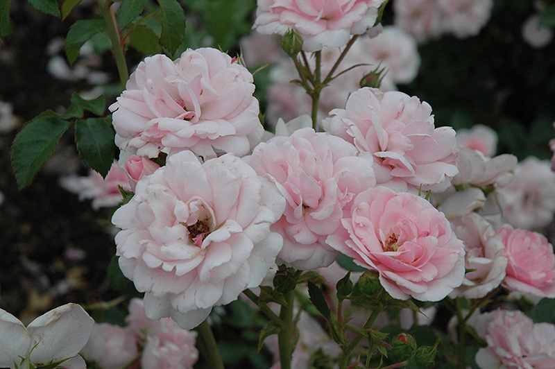 Bonica Rose (Rosa 'Meidomonac') at Hicks Nurseries