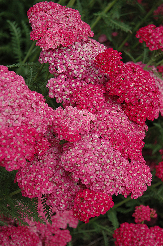 Saucy Seduction Yarrow (Achillea millefolium 'Saucy Seduction') at Hicks Nurseries
