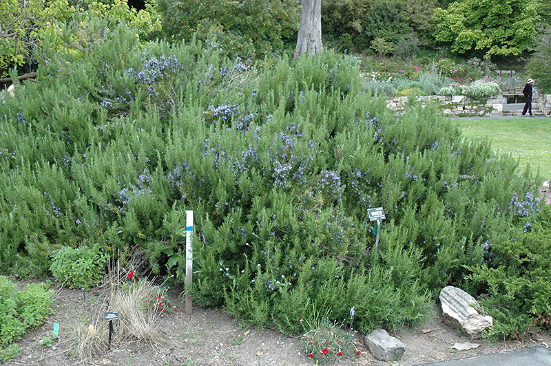 Collingwood Ingram Rosemary (Rosmarinus officinalis 'Collingwood Ingram') at Hicks Nurseries