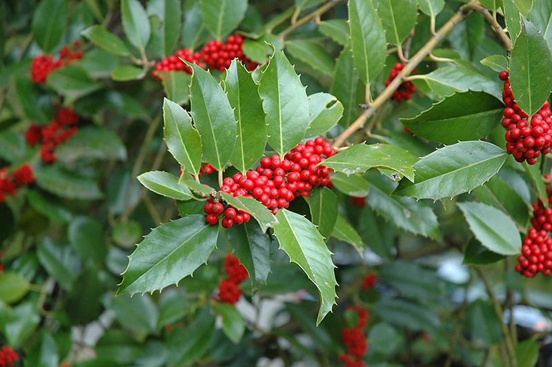 Chestnut Leaf Holly Ilex Koehneana In Long Island