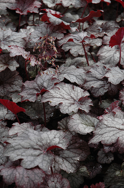Amethyst Mist Coral Bells (Heuchera 'Amethyst Mist') at Hicks Nurseries