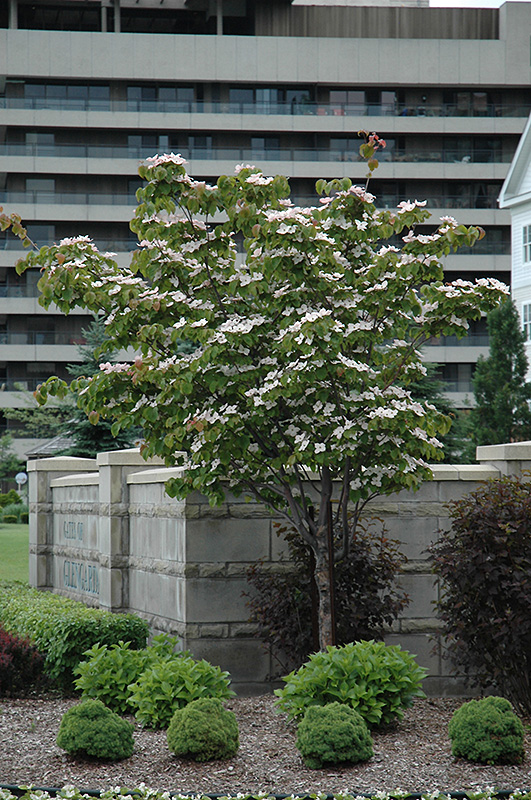 Flowering Dogwood (Cornus florida) at Hicks Nurseries