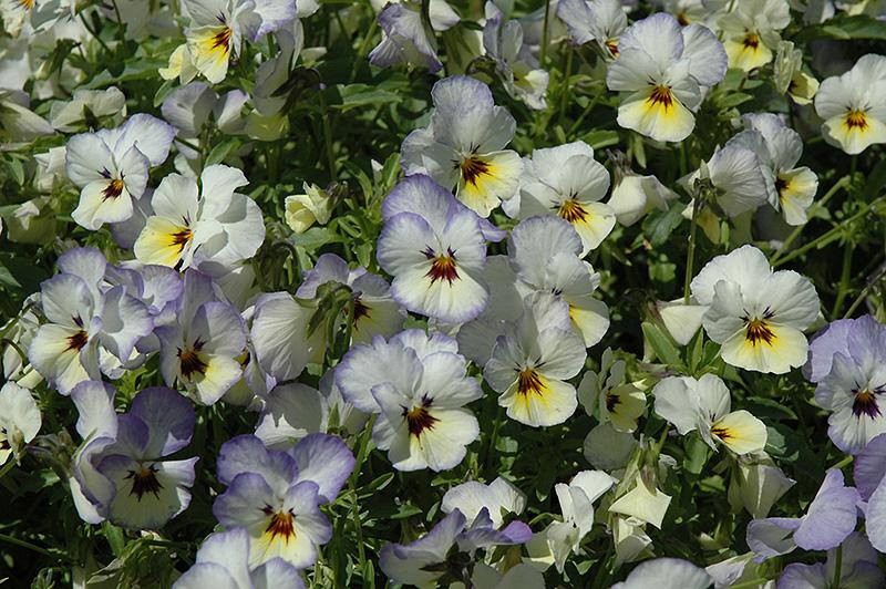 Endurio Blue Yellow With Purple Wing Pansy Viola Cornuta