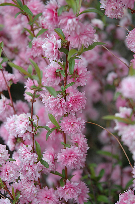 Double Pink Flowering Almond (Prunus glandulosa 'Rosea Plena') at Hicks Nurseries