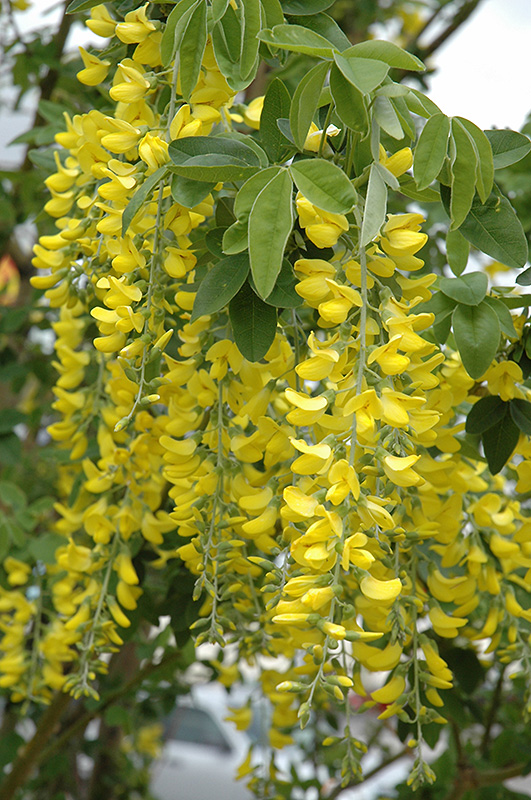 Scotch Laburnum (Laburnum x watereri) at Hicks Nurseries