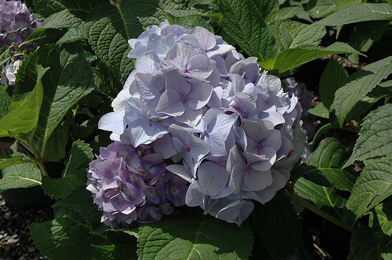 Penny Mac Hydrangea (Hydrangea macrophylla 'Penny Mac') at Hicks Nurseries