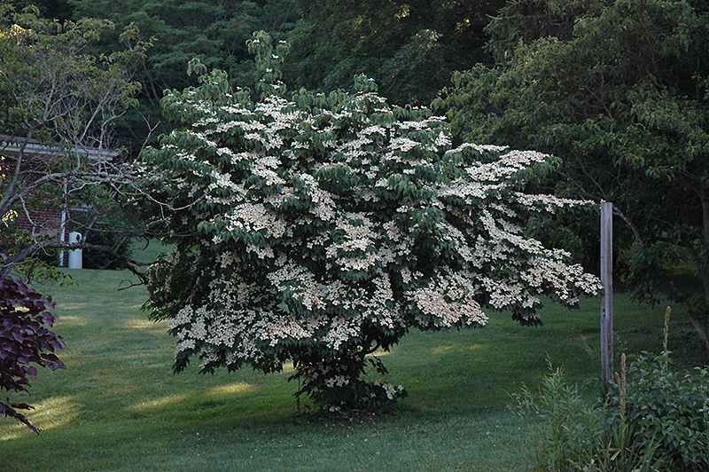 Milky Way Chinese Dogwood (Cornus kousa 'Milky Way') at Hicks Nurseries