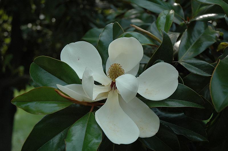 Southern Magnolia Magnolia Grandiflora In Long Island