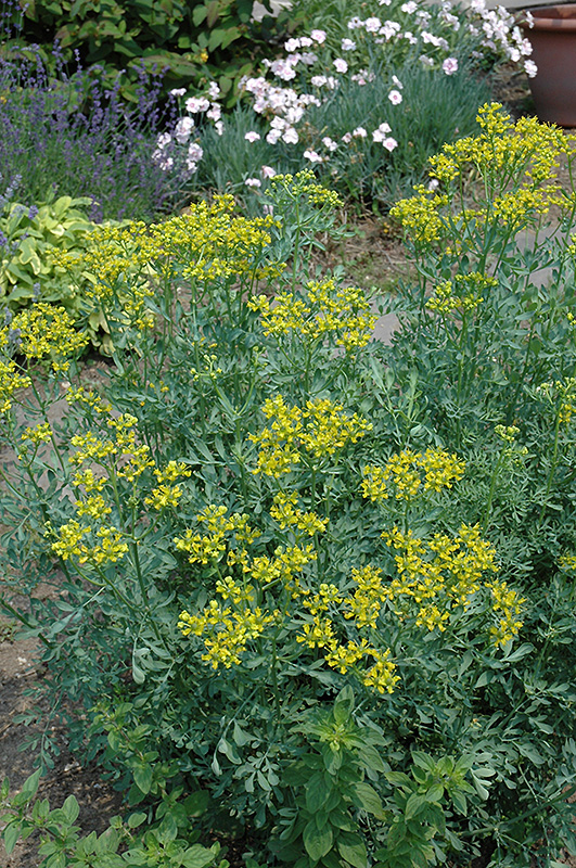 Common Rue (Ruta graveolens) at Hicks Nurseries