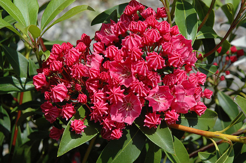 Raspberry Glow Mountain Laurel Kalmia Latifolia