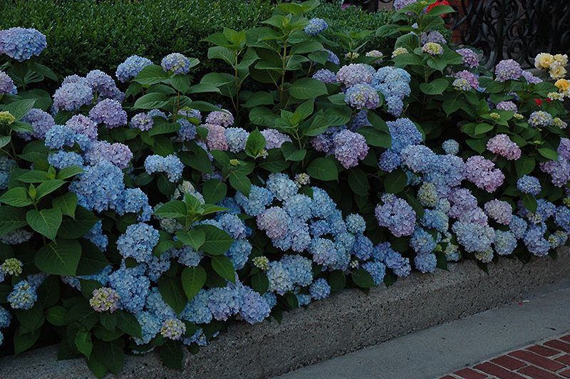 Nikko Blue Hydrangea Macrophylla At Hicks Nurseries