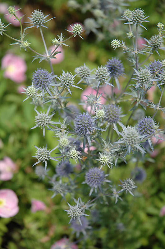 Flat Sea Holly (Eryngium planum) at Hicks Nurseries