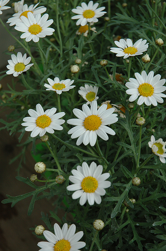 White Yellow Eye Marguerite Daisy Argyranthemum