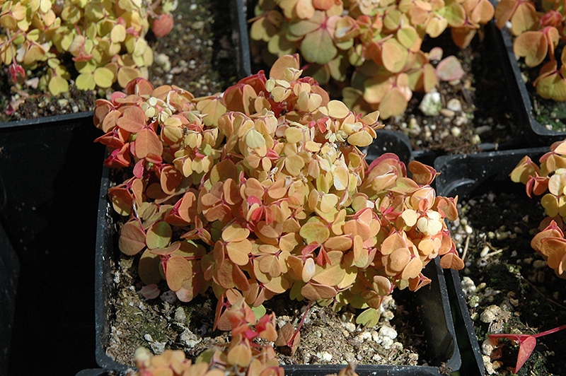 Copper Glow Shamrock (Oxalis vulcanicola 'Copper Glow') at Hicks Nurseries