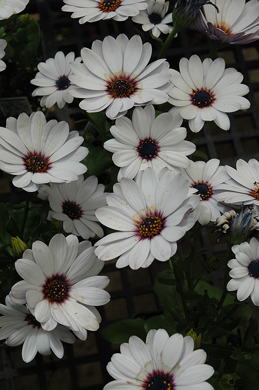 Summertime Sweet White African Daisy (Osteospermum 'Summertime Sweet White') at Hicks Nurseries