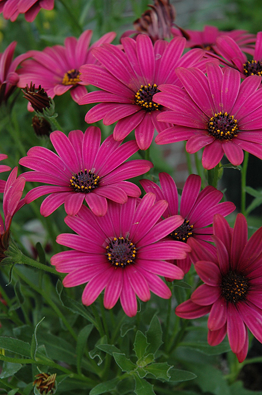 Summertime Red Velvet African Daisy (Osteospermum 'Summertime Red Velvet') at Hicks Nurseries