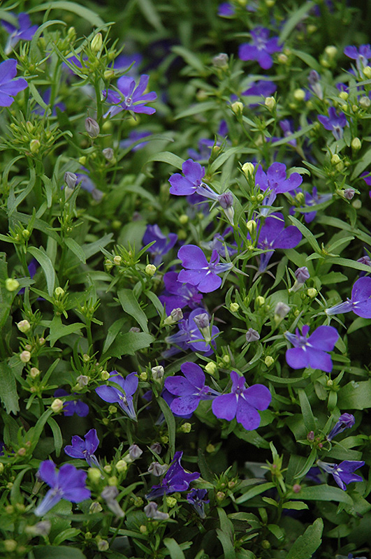 Riviera Midnight Blue Lobelia (Lobelia erinus 'Riviera Midnight Blue') at Hicks Nurseries