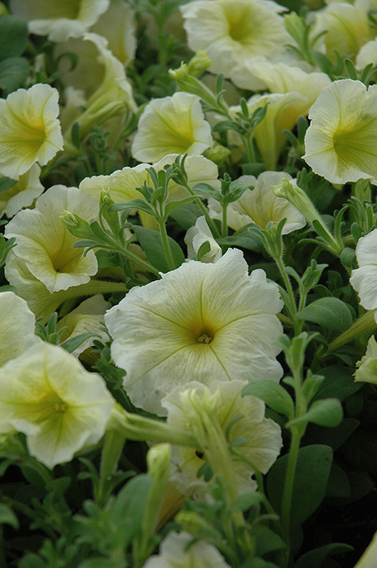 Madness Yellow Petunia (Petunia 'Madness Yellow') at Hicks Nurseries